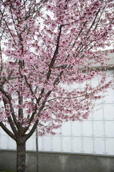 Prunus Okame cherry tree