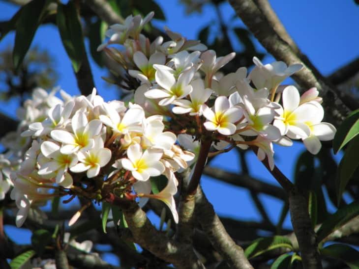 White Plumeria rubra