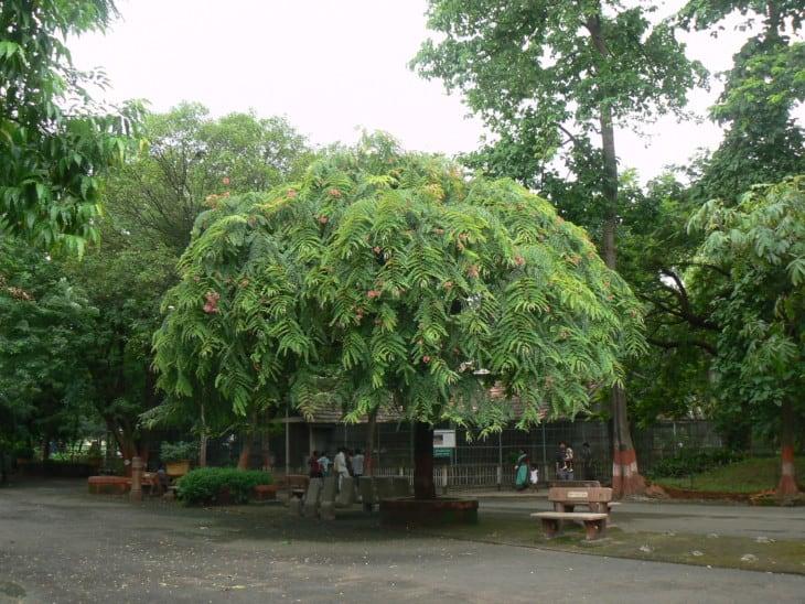 Cassia renigera