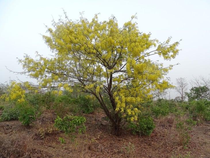 Cassia sieberiana