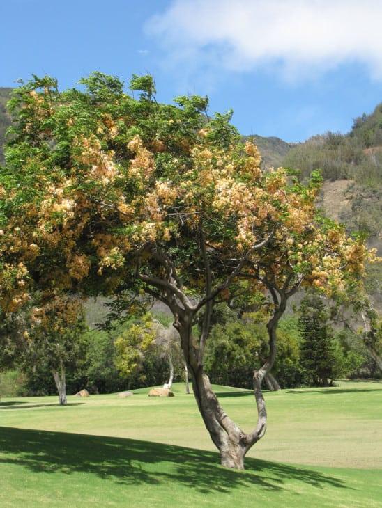 Cassia x nealiae
