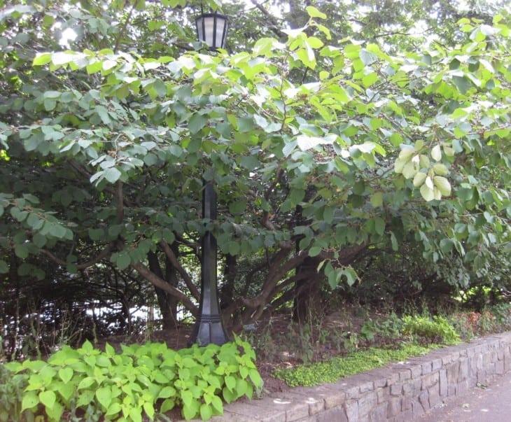 Hamamelis × intermedia 'jelena