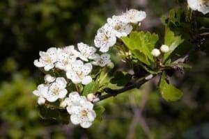 A branch of white Hawthorn Flowers Crataegus Monogyna