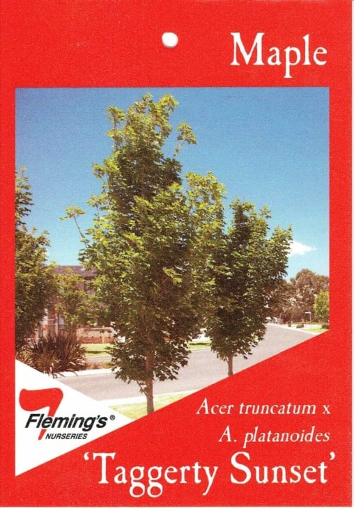 Acer Taggerty Sunset Flemings