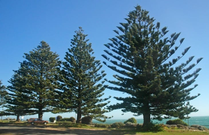 Araucaria heterophylla Norfolk Island pine trees on Kangaroo Island South Australia