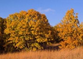 Autumn White Oaks Quercus alba and prairie grasses Waubonsie State Park Iowa