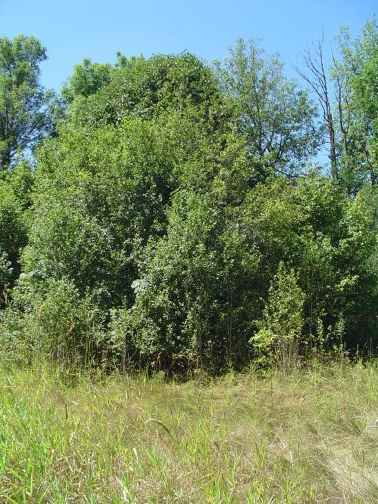 Black Hawthorn Crataegus douglasii