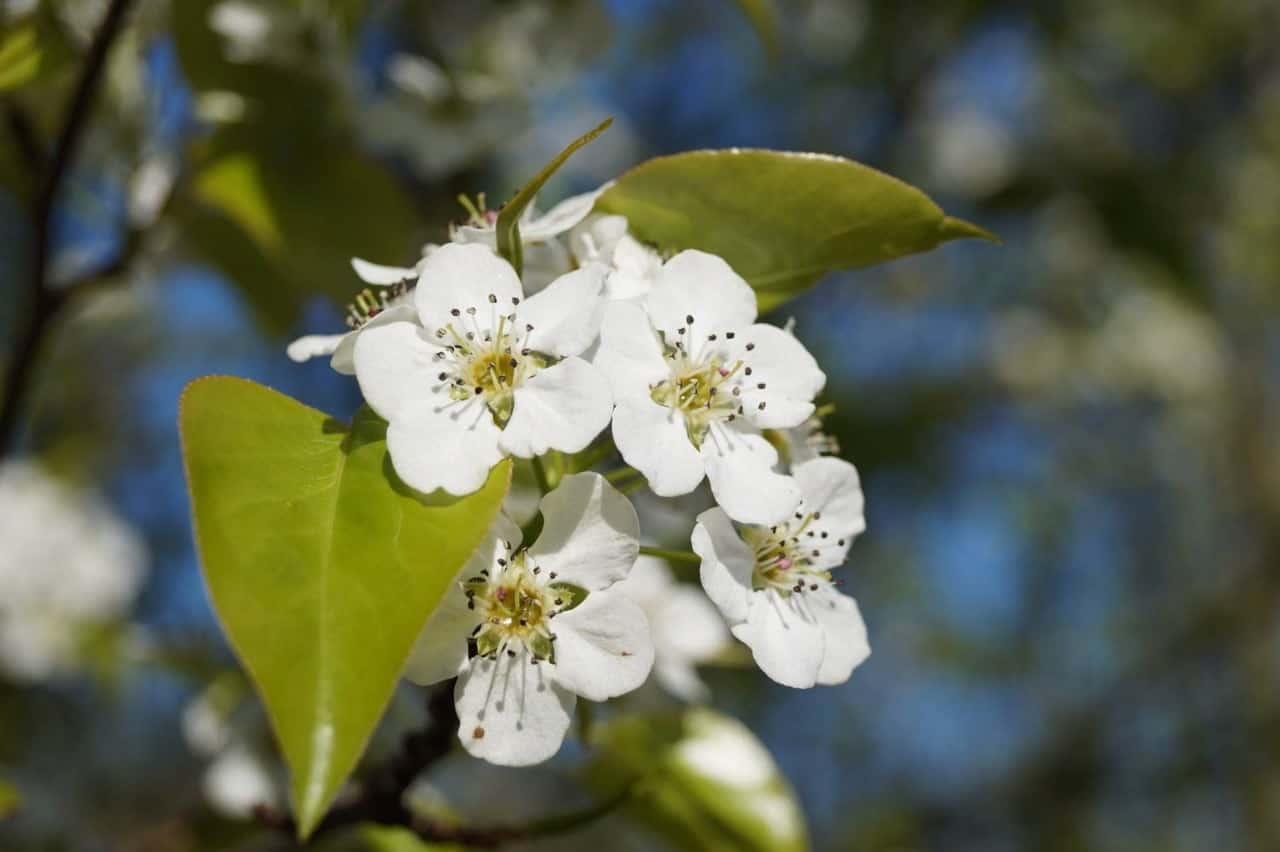 Capital Pear Flower