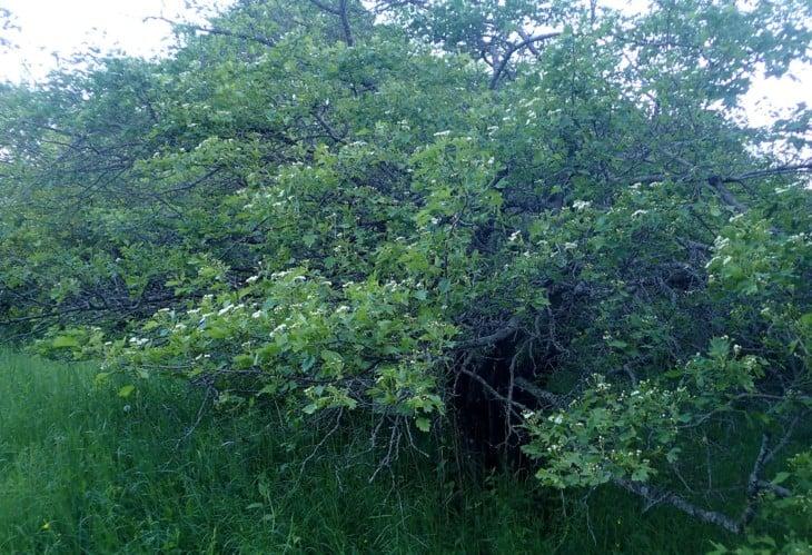 Crataegus nigra