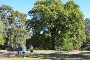 English Oak (Quercus Robur) - the oldest tree in Western Australia