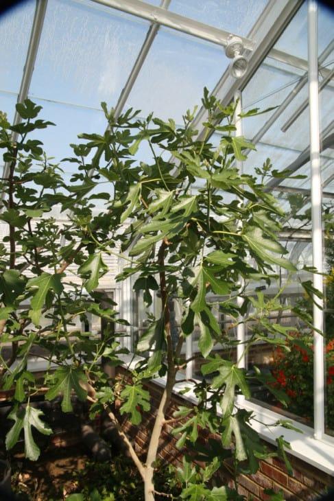 Ficus carica Violette Du Bordeaux