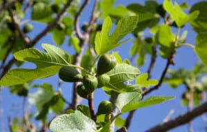 Figs on branch of the fig tree