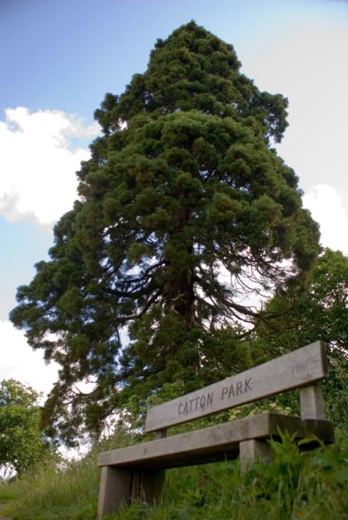 Giant Redwood Wellingtonia