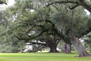 Giant old oak trees in Mississippi