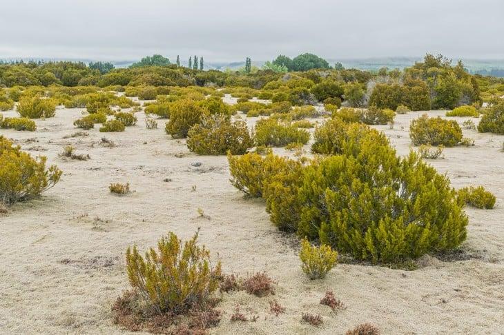Halocarpus bidwillii in Wilderness Scientific Reserve Southland region South Island of New Zealand