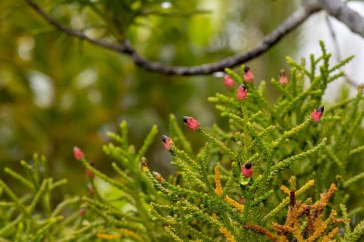 Lepidothamnus intermedius Yellow Silver Pine