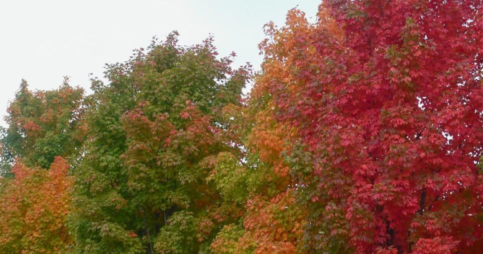 Maple trees changing color in Fayetteville Arkansas