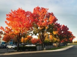 Maple trees in Sacramanto California