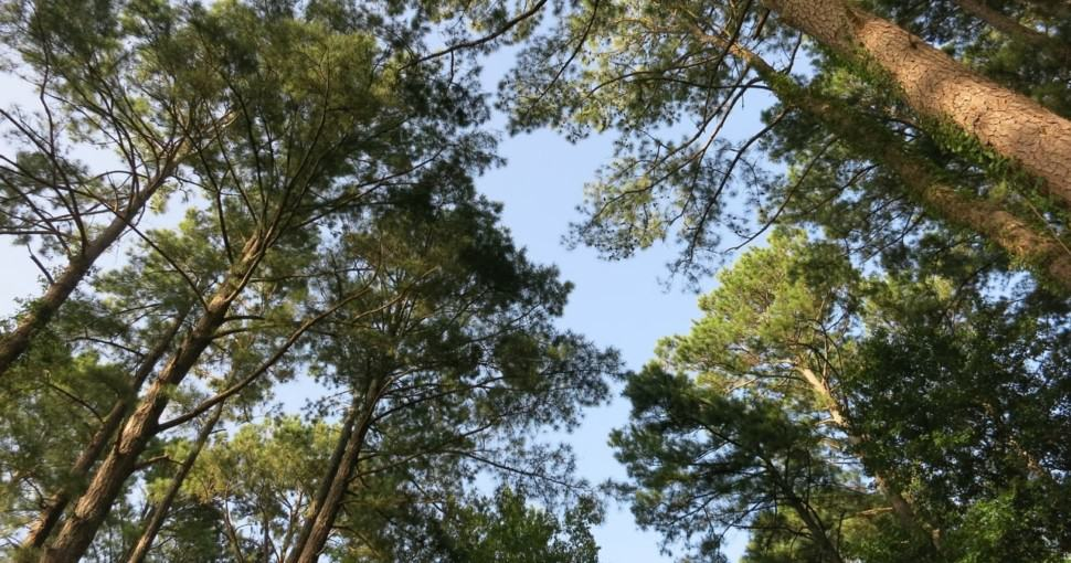 Pine trees at Northside Park Mississippi