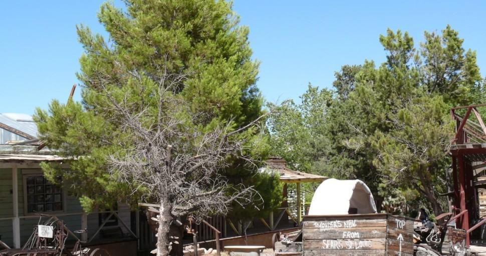 Pine trees in Ghost Town Las Vegas