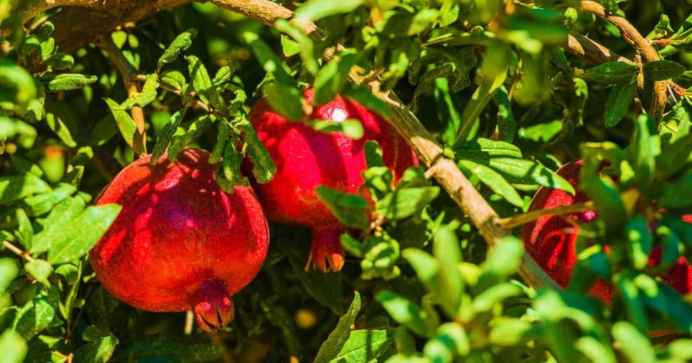 Pomegranate Branch with Pomegranate Fruits