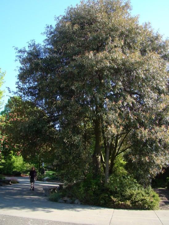 QuercusHypoleucoides