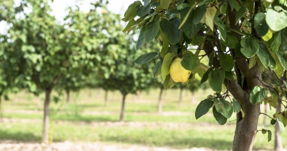 Quince tree orchard