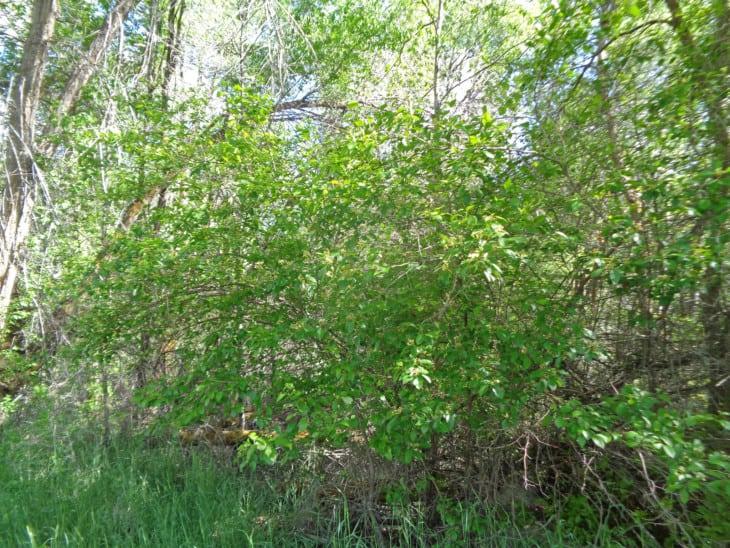 River hawthorn