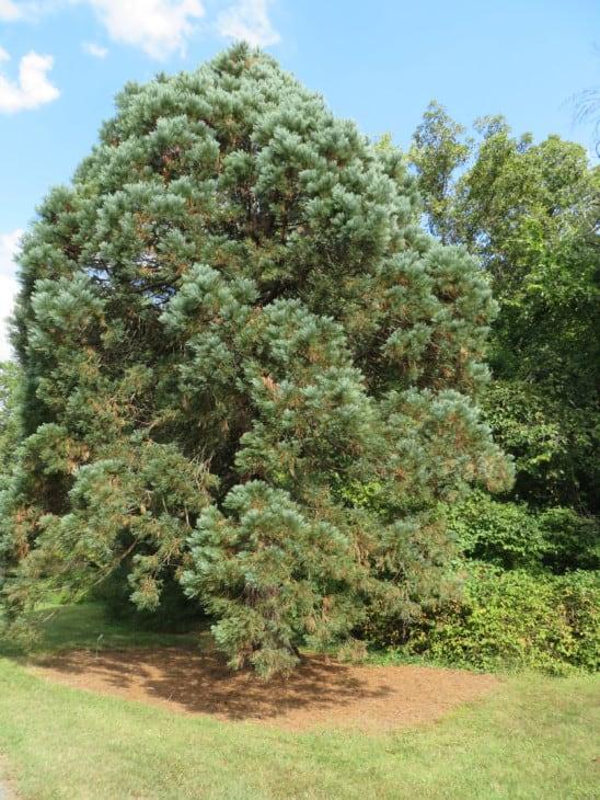 Sequoiadendron giganteum Hazel Smith