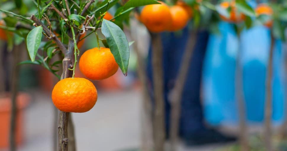 Tangerine tree varieties
