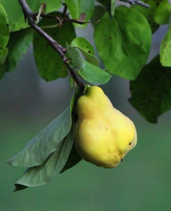 champion quince tree