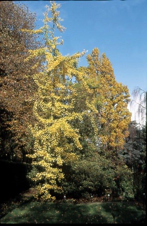 ginkgo biloba fairmont autumn