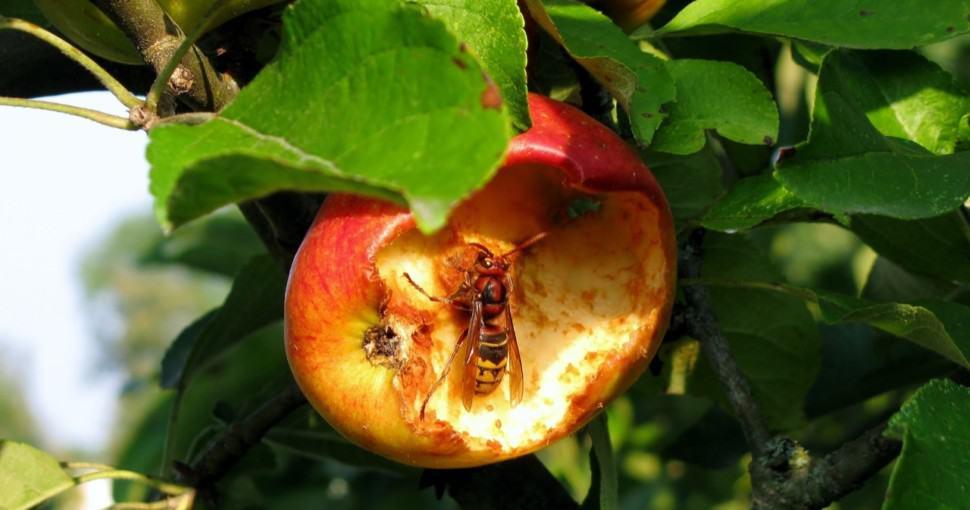 hornet eating apple