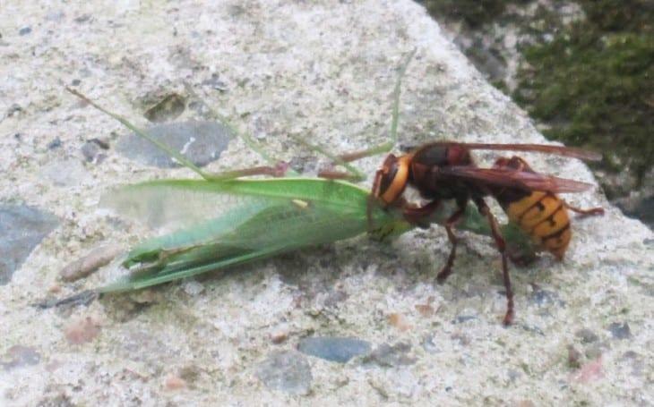 hornet eating mantis