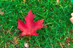 maple leaf alberta canada