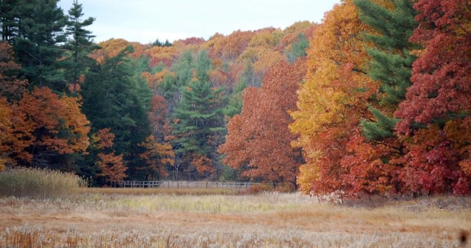 Beeach and Oak trees changing color in Stroudwater Maine