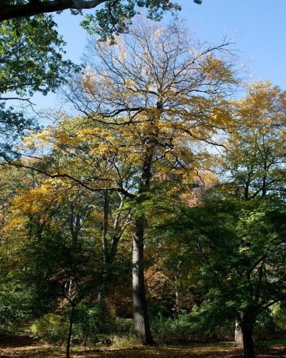 Betula lenta Sweet Birch