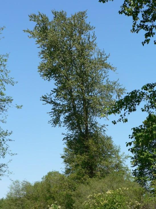 Black Cottonwood Populus trichocarpa