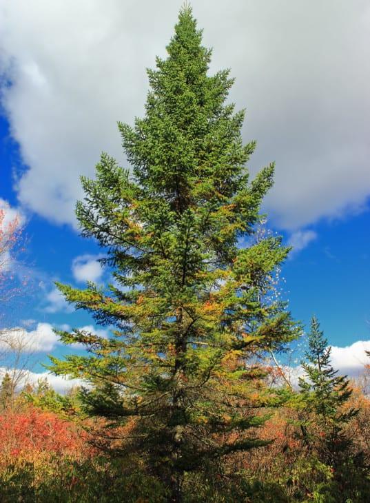 Black spruces Picea mariana