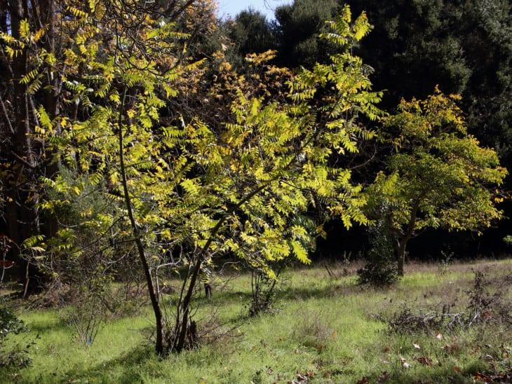 California Black Walnut
