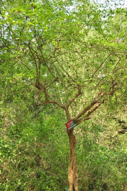 Ceylon Olive.