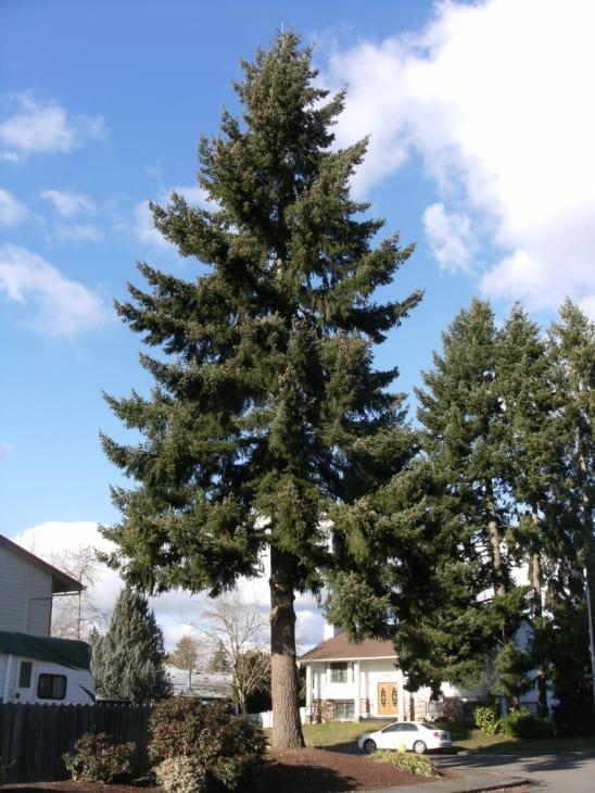 Douglas fir Pseudotsuga menziesii