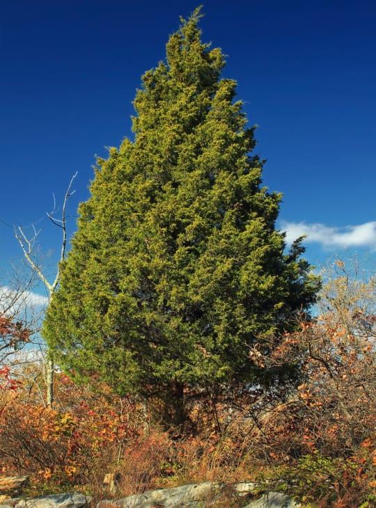 Eastern red cedar Juniperus virginiana