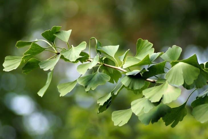 Ginkgo tree leaves green