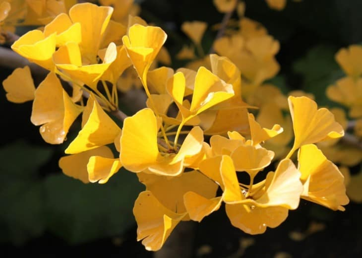Ginkgo tree leaves yellow