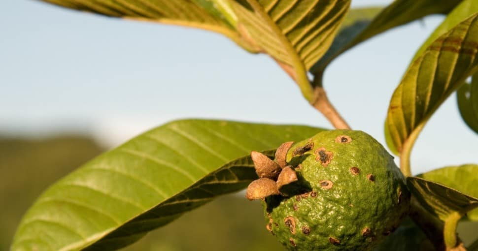 Guava growing on a tree