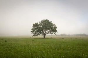 Lone Oak tree in Minnesota