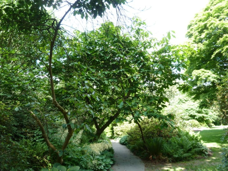Magnolia tripetala
