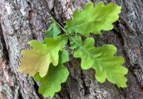 Oak Trees In New Jersey