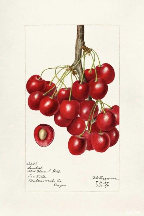 Prunus avium lambert